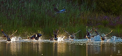Let's Fly (kaprysnamorela) Tags: geese canadageese oakville oakhavenpond ontario outdoor heron greatblueheron water sunset canada nikond3300