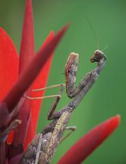 Carolina Mantis (Billtacular) Tags: wildlife nature outdoors insect insecta prayingmantis mantid newjersey summer fall autumn bug