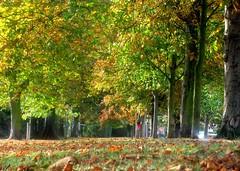 Maldon Promenade Park (Stuart Axe) Tags: maldon essex uk gb england promenadepark autumnal autumn leave leaves tree trees horsechestnut unitedkingdom blackwater estuary riverblackwater blackwaterestuary countyofessex