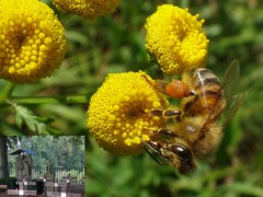 Immortal. Tansy, Tanacetum vulgare, and Apis mellifera, Honeybee, Bastion 'Bekaf', Grave, Brabant, The Netherlands (Rana Pipiens) Tags: jeanbaptisteberthier congregationoftheholyfamily gravebrabantthenetherlands apismellifera honeybee tansy tanacetumvulgare meuseriver bastionbekafgravebrabantthenetherlands holyfamily cemetery immortailty insect bee pollen