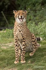 Cheetah Cub (ToddLahman) Tags: cheetah cheetahcub sandiegozoosafaripark safaripark safaritram safari canon7dmkii canon canon100400 escondido