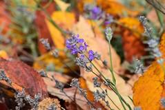 Lavender (careth@2012) Tags: flower lavender nature autumn fall