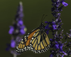 Monarch_SAF3000 (sara97) Tags: butterfly copyright2016saraannefinke flyinginsect insect missouri monarch monarchbutterfly nature outdoors photobysaraannefinke pollinator saintlouis towergerovepark urbanpark danausplexippus