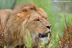 African lion - Pairi Daiza (Mandenno photography) Tags: dierenpark dierentuin dieren belgie belgium bigcat big cat pairi pairidaiza lion lions leeuw leeuwen african