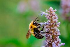 lake katherine. july 2016 (timp37) Tags: bumblebee bee flower lake katherine summer july 2016 illinois palos heights