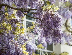 wisteria (1 of 1).jpg (dafydd_ap_w) Tags: chinese fabaceae bloom climber flower flowering lilac plant spring wisteria