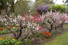 colourful spring (Val in Sydney) Tags: wisteria festival parramatta nsw australia australie flower fleur