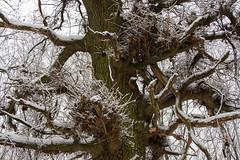ckuchem-1635 (christine_kuchem) Tags: baumrinde buche bume eiche eis frost hainbuche natur pfad pflanzen ruhe samen spuren stille struktur wald weg wildpflanzen winter einsam kalt schnee ste