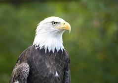 Bald Eagle I (Photato Jonez) Tags: potter park zoo bald beak feathers eye october alex day alexander
