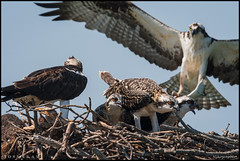 Osprey Family @ St. Michaels, Maryland (Nikographer [Jon]) Tags: maryland md osprey family 20160714d500012022 nikon d500 dx nikond500 stmichaels pandionhaliaetus pandion haliaetus