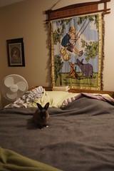 Toki on the bed (Tjflex2) Tags: muyal kelinci coinin ilconiglio usagi sungura toki lepus fenek kanin krolik coelho iepure conejo rabbit bunny lapin cute cuddly furry fuzzy leporidea small mammal lagomorph adorable pets vancouver bc canada friendship playful nature pretty girl bunnies boy