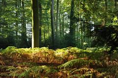 the-enchanted-forest (Don Pedro de Carrion de los Condes !) Tags: donpedro d700 landschap herfst varens trees ferns bomen bos magic kleduren mood sfeer oldenaller landgoed magisch licht