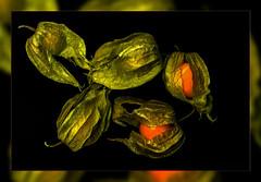 Physalis  ScannerART..... (scorpion (13)) Tags: physalis cape gooseberry color creativ photoart autumn broad frame nature plant garden