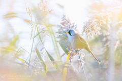 panure a moustaches - Bearded Reedling (oeil-et-nature) Tags: panuremoustaches panurusbiarmicus bearded reedling oeiletnature simonbaudouin 500mmcanon eos7d camargue roselire reed