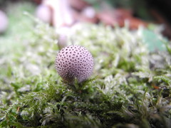 fungi (mendes.madalena) Tags: forest denmark mushroom cogumelo jgersborgdyrehave