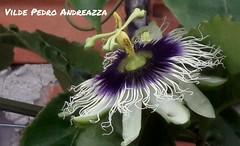 Flor do maracujazeiro. (grandee36) Tags: maracuj grandee36 fotgrafosdecuritiba maracujazeiro pontagrossa passiflora passifloraalata