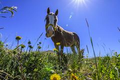 El potro (Mauro Esains) Tags: patagonia potros caballos campo tranquilidad flores pasto comiendo cerros alambrado tronco poste matas malaspina abrojos observando paisaje