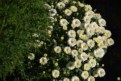 Sunny, tiny chrysanthemums (petrOlly) Tags: garden inthegarden summer nature natura przyroda poland polska polen europe europa gdansk gdask pomorze tricity tricityarea trjmiasto flower flowers plants plant