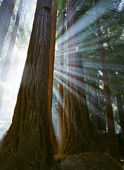 Cathedrals of Light (Christopher.Michel) Tags: redwood light rays film contax 645