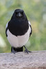 Elster (Matthes S.) Tags: canon elster rabenvogel tier vogel wildlife animal bird magpie picapica