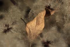 automne tout doux (bulbocode909) Tags: feuilles fleurs clmatites automne nature
