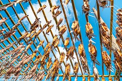 Drying fish (ech119) Tags:               taiwan taitung lanyu island flyingfish food culture customs tao sky cloud blue scaffolding fish  outdoor ziess ziess21mm zeissdistagont2821ze     textures abstract geometric repeat