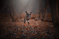 Flying trough the forest (Tams Szarka) Tags: dog pet animal puppy outdoor nature forest boxerdog boxer strawberry nikon autumn leaves