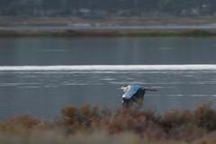 Grey heron (jan.stefka) Tags: canoneos7d stagnodimistras sardegna sardinie 2016 sardinia