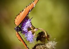 Cover me. (Kreative Capture) Tags: butterfly queen purple greggsmistflower plant wildflower texas purplepalmleafmistflower wings open cover closeup nikon nikkor d7100 macro insect proboscis outdoor drinking