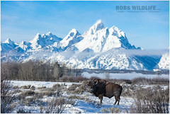 Teton Bison 120616-2281-W.jpg (RobsWildlife.com  TheVestGuy.com) Tags: buffalo winter animalart nationalpark grandtetonnationalpark americanbison 120616 bison animal robswildlife teton animallovers nature 2016robswildlifecom robswildlifecom americanbuffalo snow robdaugherty animals snowcovered wy foreverwest wyoming