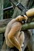 _MGL2993.jpg (shutterbugdancer) Tags: whitecheekedgibbon gorilla jackie rasha bowie fred africanlion westernlowlandgorilla zebra elephant asianelephant gracie bluebonnet elmo belle fortworthzoo gus winifred nubianibex booatthezoo