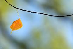 Leaf Me Alone (jan buchholtz) Tags: janbuchholtz tree leaf fall orange chinesetallow autumn foliage triadicasebifera sapiumsebiferum bokeh