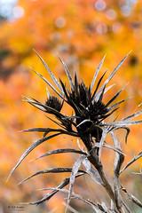 Autumn (s.austinukit) Tags: autumn autunno flower fiore secco dry giallo yellow
