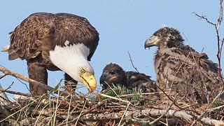 Eaglet Feed