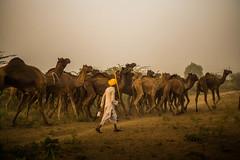 L1002808.jpg (Bharat Valia) Tags: pushkarfair bharatvalia desert bharatvaliagmailcom pushkarmela pushkarimages festivalsofindia pushkar camel pushkarcamelfair sheperd