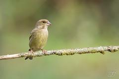 Verdier d'Europe (Tifaeris) Tags: carduelischloris europeangreenfinch fringillids passriformes verdierdeurope bird oiseau