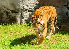 Tampa Zoo (345) 20160813 (gaijinnokoi) Tags: kimler lowry zoo duck tiger elephant giraffe orangatan tampa florida bird nikon d7100 blackandwhite bw