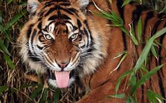sumatran tiger Emas  Blijdorp JN6A4086 (j.a.kok) Tags: tijger tiger sumatraansetijger sumatrantiger pantheratigrissumatrae cat kat predator asia azie sumatra blijdorp blijdorpzoo mammal zoogdier emas