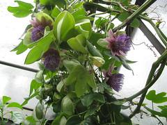 Passiflora triloba (crouz1) Tags: passiflora triloba