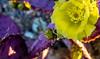 purple n yellow (JohnHersey16) Tags: flower desert succulentplant cactus arizona claret red cactusflower southwestusa needleplantpart outdoor thorn closeup bloodred colorimage desertplant nopeople dry bud hedgehogcactus bunch