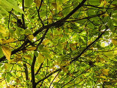 Autumn Colours (Triker-Sticks) Tags: trees nature leaves autumn thelodge rspb reserve england sandy foliage