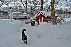 job done...... (KvikneFoto) Tags: katt cat bobkatt 2016 sn snow vinter winter norge hedmark kvikne lynx