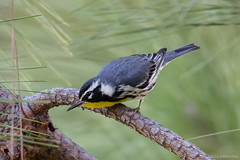 Yellow-throated Warbler (Jeff Bray) Tags: tamron150600g2canon warbler yellowthroated