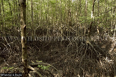 39971 Mangrove trees (Rhizophora sp) with prop roots, Mangrove Forest Research Centre, Ranong Biosphere Reserve, Ranong, Thailand. (K Fletcher & D Baylis) Tags: plant vegetation flora tree mangrove mangrovetree mangroveforest swamp mangroveswamp rhizophora roots proproots stiltroots intertidal mangroveforestresearchcentre biospherereserve ranongbiospherereserve ranong thailand southeastasia november2016