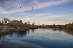 Flight 040616 (NVOXVII) Tags: lake water reflection tones lowlight seagulls inflight treeline winter december sky landscape serene nature peaceful