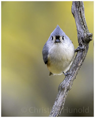 tufted titmouse (Christian Hunold) Tags: tuftedtitmouse songbird bird bokeh indianermeise autumn valleyforge pennsylvania christianhunold