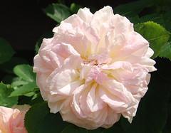 Mein Heiland lebt, drum will auch ich (amras_de) Tags: rose rosen rua rosa rue rozo roos arrosa ruusut rs rzsa roe rozes rozen roser rza trandafir vrtnica rosslktet gl blte blume flor cvijet kvet blomst flower floro is lore kukka fleur blth virg blm fiore flos iedas zieds bloem blome kwiat floare ciuri flouer cvet blomma iek