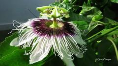passion flower ( Graa Vargas ) Tags: passionflower flordemaracuj passifloracaerulea passiflora flower graavargas2016allrightsreserved macro graavargas