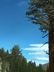 Elephants can hear the sound of approaching clouds (Maureen Bond) Tags: ca easternsierra highelevation tree pine clouds windy cool iphone maureenbond approaching lenticular stormwascoming