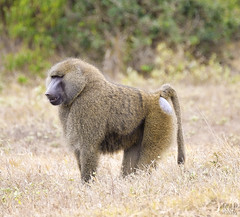 Olive Baboon (perkster24) Tags: baboon olivebaboon baboons monkey wildlifephotography wildlife wild wildanimal wildbaboon africa african kenya nature naturephotography fujixe2 fuji fujixf100400mmf4556